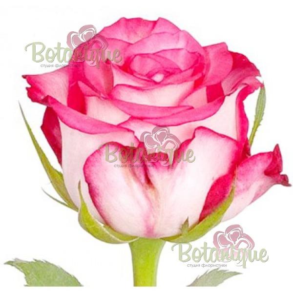Роза Джамелия