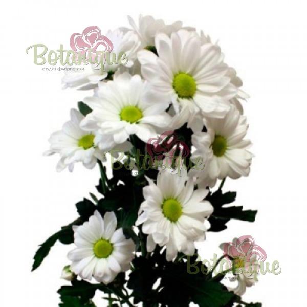 Хризантема белая веточная