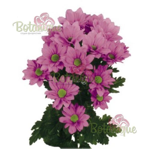 Хризантема розовая веточная