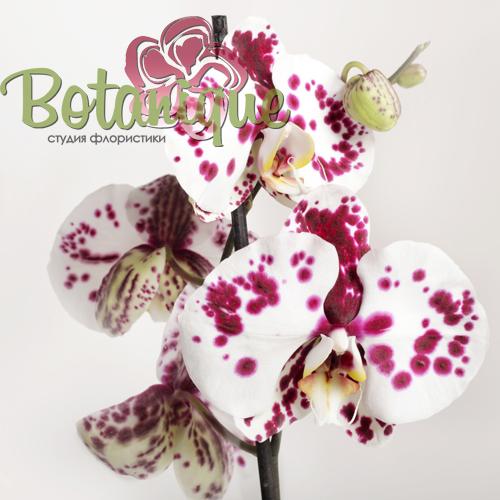 Орхидея двухцветная