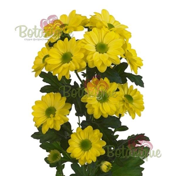 Хризантема желтая веточная
