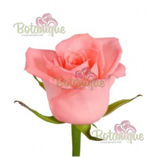 Роза Энгажимент