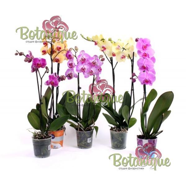 Орхидея двустволова