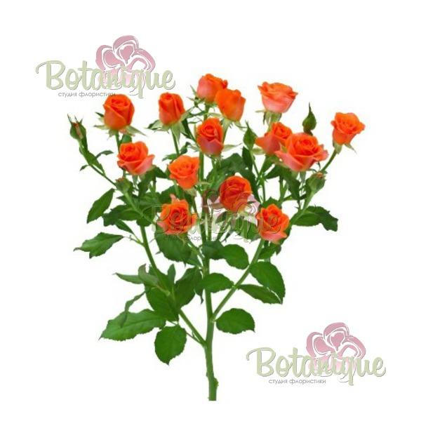 Роза кустовая Бэби