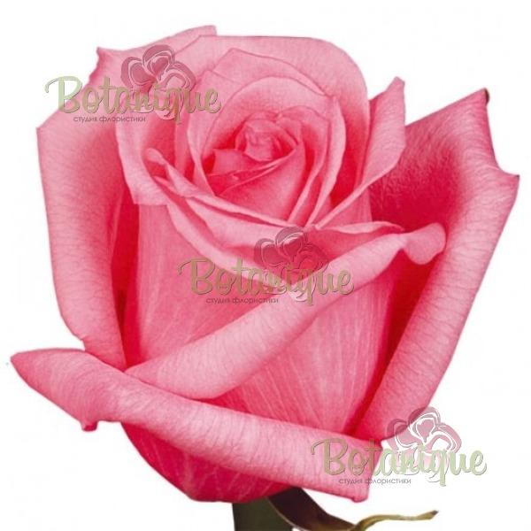Роза Пинк Мартини