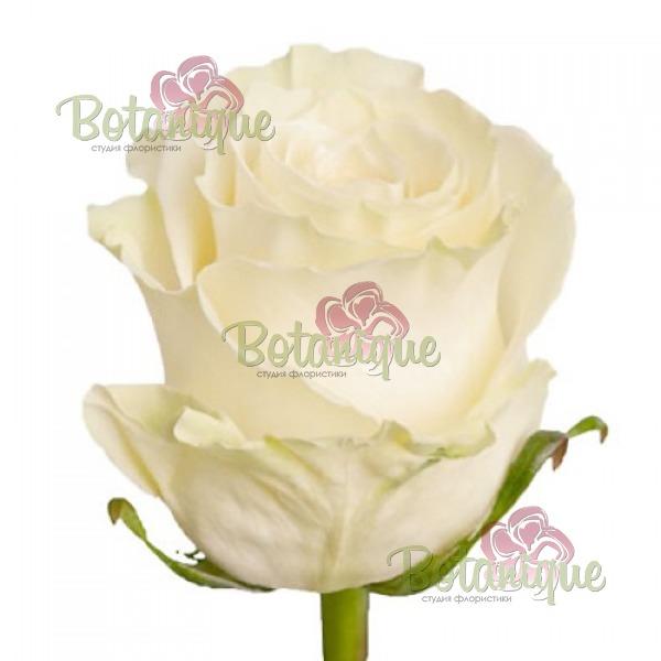 Роза премиум Белая